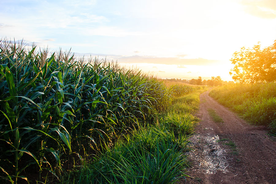 About Us - Corn Field with Dirt Path at Sunset